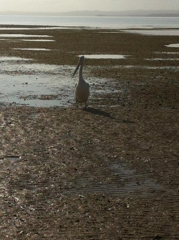 ormiston pelican