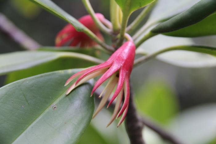 Orange Mangrove