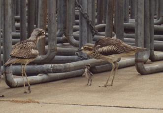 curlew.in.yard